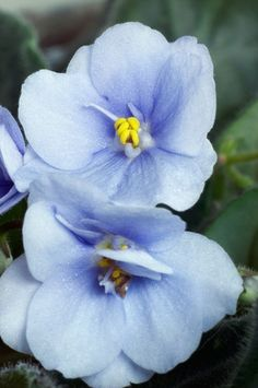 African Violet in pale blue, something my mother always had in the front windows.