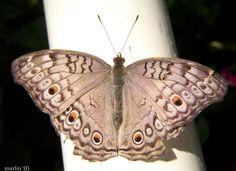 Grey Pansy Butterfly -  Junonia atlites