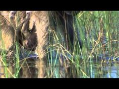 MONKEYS, MOMS AND BABIES WADING During the wet season, the African plains change from a desert wasteland to a world of plenty, which monkeys may wade through in search of food. Great Clip from the classic BBC 1 nature series, 'Planet Earth'.