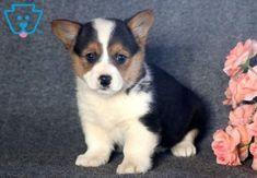 Tonya Pembroke Welsh Corgi Puppy For Sale Keystone Puppies