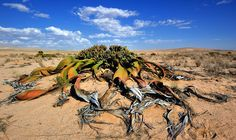 "Welwitschia mirabilis is endemic to the Namib desert within Namibia and Angola. Informal sources commonly refer to this plant as a ""living fossil""."