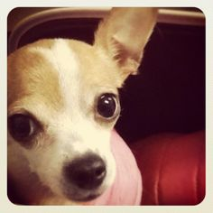 Emma in her travel bag. Chihuahua.. The Buttons. http://the-buttons.tumblr.com