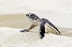 Edge Of The Plank: Cute Animals: Baby Sea Turtles