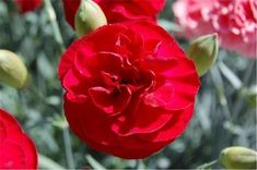 Massachusetts based producers of Quality Perennials for North America Red Perfume, Orchids Garden, Home Scents, Biodegradable Products, Perennials, Planting Flowers, Bloom, Flowers