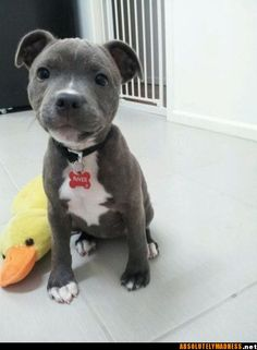 Pitbull pup...look at that face :)