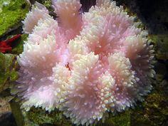 Pink Flower Anemone