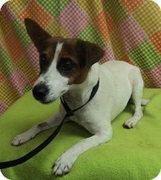Hughesville, MD - Jack Russell Terrier. Meet Marco, a dog for adoption. http://www.adoptapet.com/pet/11521690-hughesville-maryland-jack-russell-terrier