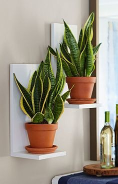 Sansevieria to eye level with easy-to-make two-board wall planters. Bring Sansevieria to eye level with easy-to-make two-board wall planters. - -Bring Sansevieria to eye level with easy-to-make two-board wall planters. Decoration Plante, Low Light Plants, Plant Shelves, Small Shelves, Green Shelves, Book Shelves, Mounted Shelves, Display Shelves, Deco Floral