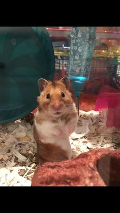 Moo Moo is the cutest lil bean ever! :) #aww #Cutehamsters #hamster #hamstersofpinterest #boopthesnoot #cuddle #fluffy #animals #aww #socute #derp #cute #bestfriend #itssofluffy #rodents