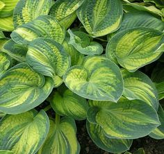 """Hosta 'Ice Age Trail' - Z3, 16""""H x 36""""W, heavily streaked leaves of strong substance, slow grower, early flowering"""