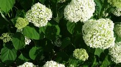 Annabelle Hydrangea. The smooth hydrangea (Hydrangea arborescens) is an easy-to-grow native plant with white blooms in summer. And the cultivar 'Annabelle' produces especially large and showy blooms.