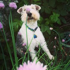 Look who I found hiding in the chives! My sweet #wirefoxterrier #foxterrier #ilovemydog
