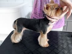 Great haircut for a male yorkie