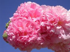Lovely Alcea rosea