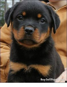 """Explore our web site for even more details on """"rottweiler puppies"""". It is an excellent area to learn more. Rottweiler Puppies For Sale, Rottweiler Love, Cute Puppies, Cute Dogs, Dogs And Puppies, German Rottweiler, Doggies, Chihuahua Dogs, Rottweiler Facts"""