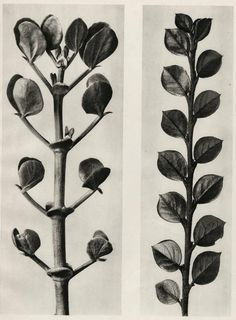 Find the latest shows, biography, and artworks for sale by Karl Blossfeldt. A teacher at the Royal Arts Museum in Berlin, Karl Blossfeldt became a celebrated… Karl Blossfeldt, Botanical Illustration, Botanical Art, Nature Illustration, Natural Form Art, Royal Art, Fungi, Macro Photography, Art Forms