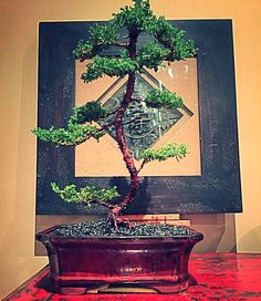 Old juniper shaped for over a year and now trimmed and potted #bonsai #juniper #bonsaitree #bonsaiaustralia #australia #victoria #tinytrees #japanese #japanesefurniture #asian #asiangarden #japanesecarving #asianstyle #homedecoration #decor #homegrown #homedeco #oceangrove #surfcoast #bellarinepeninsula #livelovegeelong #christianjcreations by christianjcreations http://ift.tt/1JO3Y6G