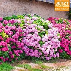 Freiland-Hortensien-Hecke 'Pink-rosé',3 Pflanzen