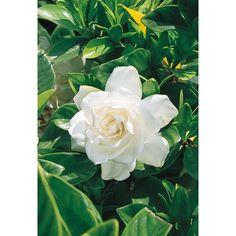 2.25-Gallon White August Beauty Gardenia Flowering Shrub (L3497)