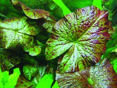 Info on aquarium lilies for top of tank Freshwater Aquarium Plants, Planted Aquarium, Freshwater Fish, Floating Plants, Lily Bulbs, Under The Shadow, Beautiful Fish, Cichlids, Aquatic Plants