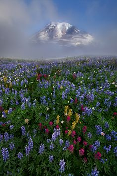 Mt. Rainier, the highest mountain in Washington and the Cascade Range  of the northwestern United States, peeps out through a misty sunrise to a sea of summer's beautiful wildflowers dogwoodalliance.org