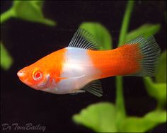 Swordtail - a beautiful female Sword Tail swimming in a large planted aquarium at AquariumFish.net, where you can shop online for Sword Tail...