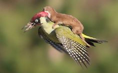 An amazing image of a weasel mounted on a flying woodpecker has been captured  by a photographer in a London park