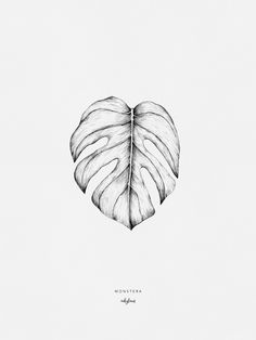 Monstera deliciosa leaf drawing. The monstera is a symbol of a long life and the honouring of elders and respected people.