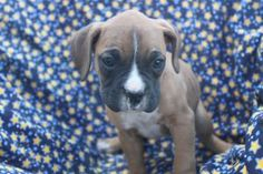 Boxer Puppies For Sale In Shippensburg Pa. http://www.network34.com/dogsbreed/boxer-puppies-for-sale-pa-md-ny-nj-dc/