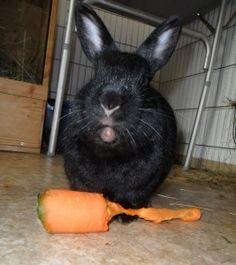 Zwergkaninchen beim stilvollen Karottenschmaus.