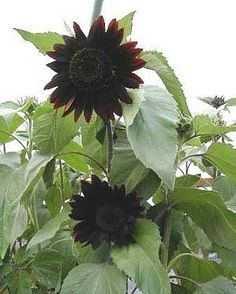 Moulin Rouge Sunflower
