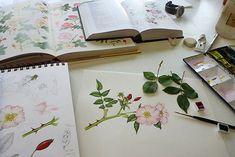 Dog rose botanical illustration step by step by Lizzie Harper natural history illustrator