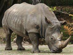 Badak Jawa sering kali disebut dengan Badak Bercula Satu kecil ( Rhinoceros sondaicus ) yaitu anggota dari famili Rhinocerotidae serta satu dari lima badak yang mana tetap ada. Badak ini masuk ke genus yang sama juga dengan badak india serta mempunyai kulit bermosaik yang mana mirip baju baja. Badak ini mempunyai panjang antara 3,1 sampai 3,2 m serta tinggi antara 1,4 sampai 1,7 m. Badak ini lebih kecil dari pada badak india serta lebih dekat atau hampir sama besar tubuhnya dengan badak…
