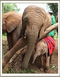 Mutara looking after little Kithaka:  Fostering and mentoring by other older orphaned elephants becomes important after the new orphan is healthy and ready to follow the herd.  In the meantime, there is a human companion 24-7 who provides the emotional support the baby needs.