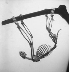 sloth  skeletons -