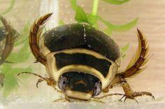 Você sabia que besouros que tem a capacidade de mergulhar têm ventosas nas patas para poder segurar as fêmeas? =O Segundo a