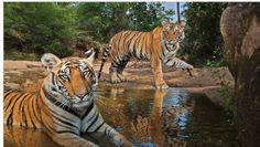 bengaalse tijgers  tijdens  het pootje baden