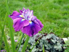 """Iris ensata """"August Emperor""""."""