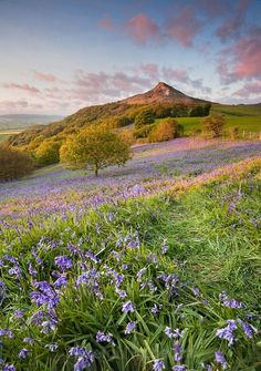 Bluebells at Sunset, Roseberry Topping, Yorkshire, UK by Leigh Rebecca