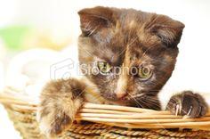 Tabby small kitten Royalty Free Stock Photo
