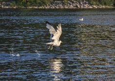 Freedom to fly. Canada Ontario, Ottawa Canada, Bald Eagle, North America, Freedom, Nature, Animals, Liberty, Animais