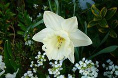 Narcisses et jonquilles en fleur dans votre jardin