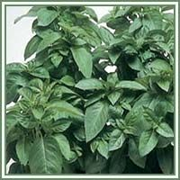 Basil:  We get so used to thinking of something as a culinary herb, we forget about it's healing properties.  This little miracle plant is rich with them!