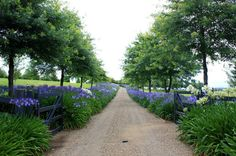 Agapanthus lined drive. A bit like New Zealand in the summer. Agapanthus lining everywhere, just beautiful! Farm Entrance, Driveway Entrance, Meadow Garden, Dream Garden, Farm Gardens, Outdoor Gardens, Agapanthus Blue, Agapanthus Garden, Landscape Design