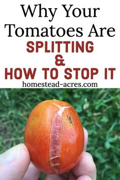 garden STOP TOMATOES FROM SPLITTING - Once you know what causes tomatoes to split open its so easy to prevent this coming tomato growing problem! Dont miss these tips for growing great tomatoes in your home garden. Growing Tomatoes In Containers, Growing Veggies, Growing Plants, Easy To Grow Vegetables, How To Grow Tomatoes, Freezing Tomatoes, Tips For Growing Tomatoes, Growing Herbs Indoors, Canning Tomatoes