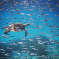 Oh to live the life of a turtle in the Great Barrier Reef!  @instacavallo spotted this green turtle gliding through a school of bait fish off the beautiful Heron Island in the Southern Great Barrier Reef of Queensland.   #Australia #Travel #adventure #vacation #escapade #retreat #destress