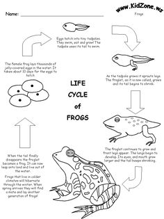 Frog Activity Sheet - Frog Life Cycle