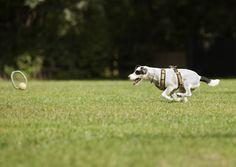Training Parson Russell Terrier Hundeplatz