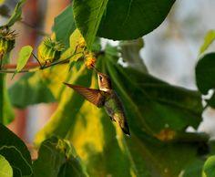 The sweet kiss of a hummingbird