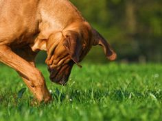 Why Dogs Eat Grass - and How to Prevent It - Dog Whisperer Cesar Millan